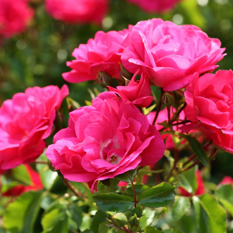 Flower Carpet Pink rose