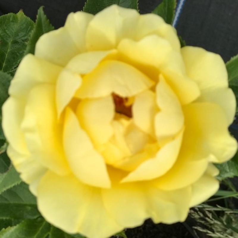 Golden 50th Anniversary rose