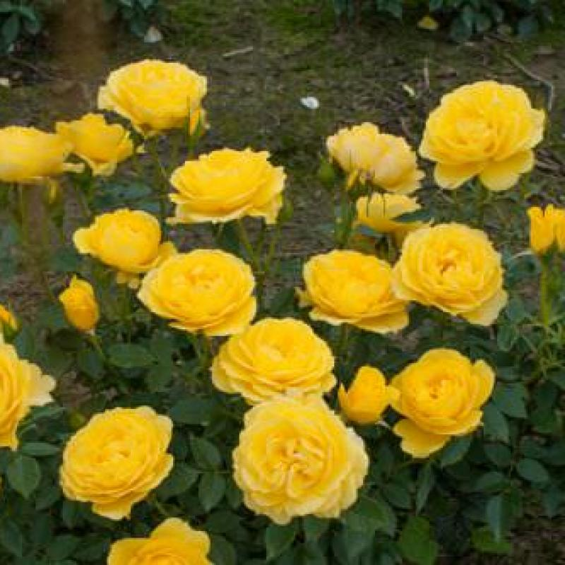 Golden Wishes rose