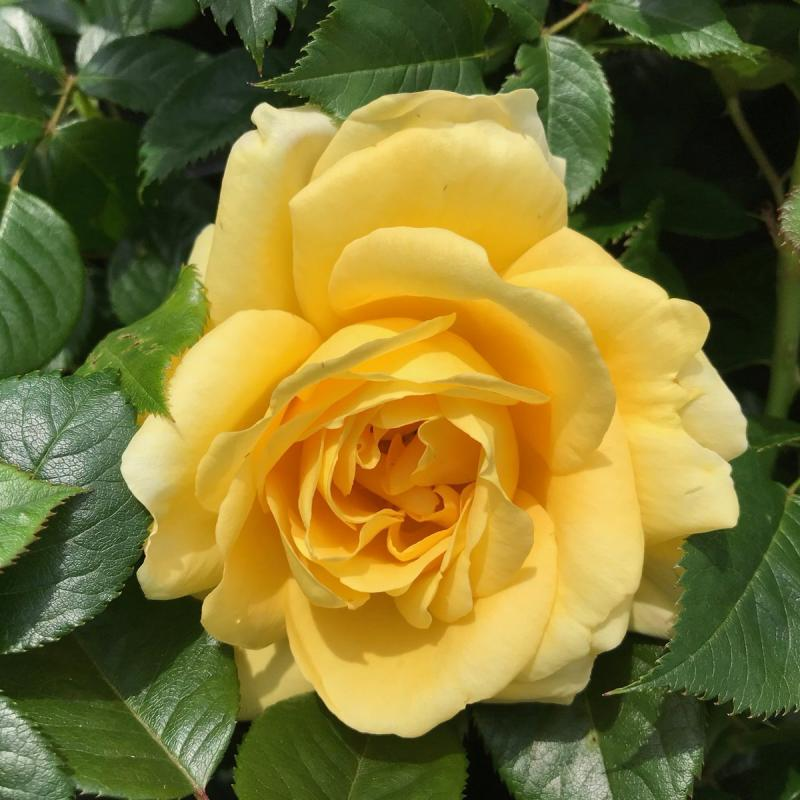 Guy's Gold rose