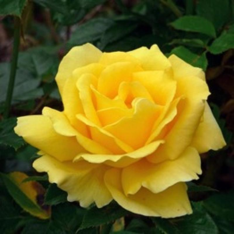 Happy Golden Wedding rose