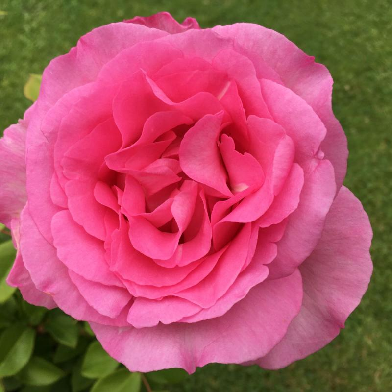 Pink Perfection rose