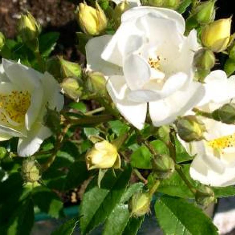 Rambling Rector rose