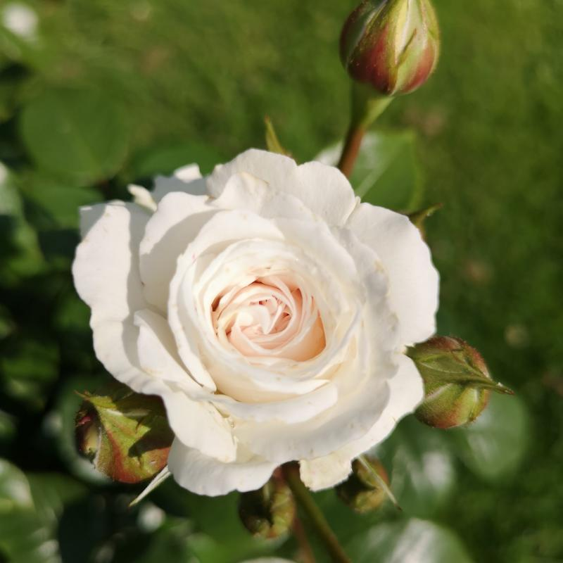 Silver 25th Anniversary rose