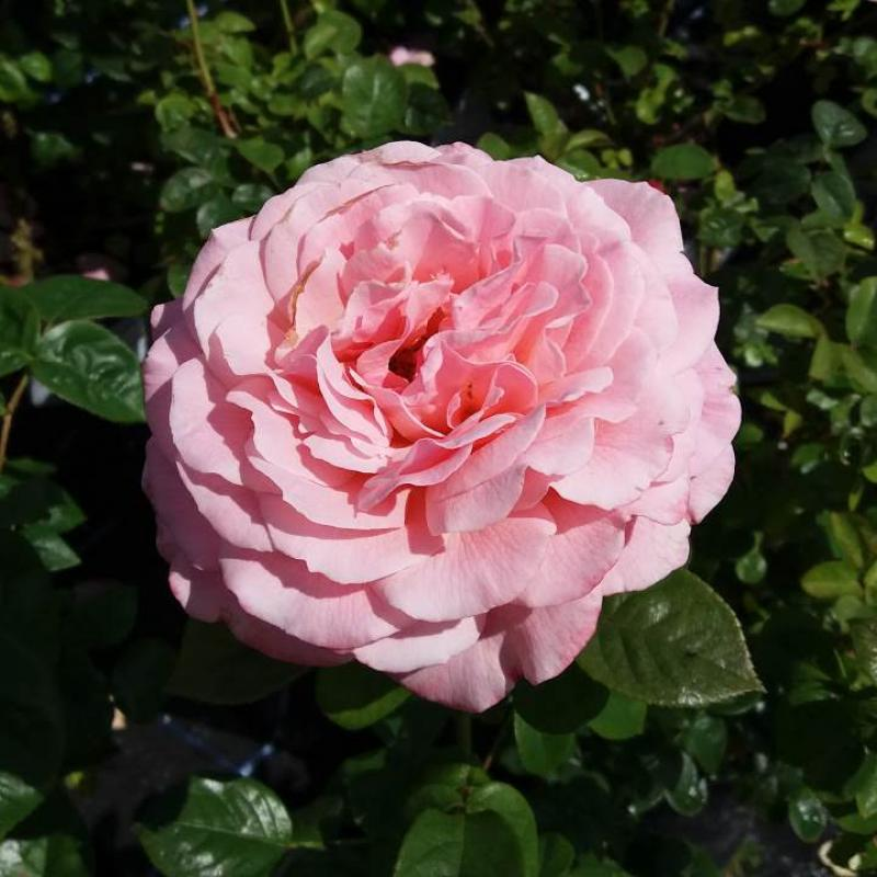 Tickled Pink rose