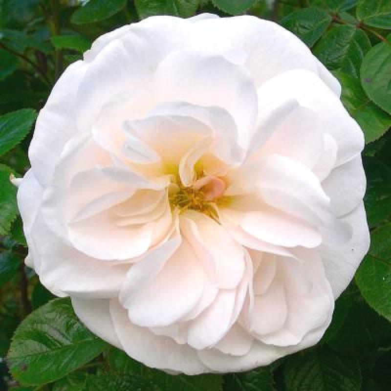 White Cloud rose