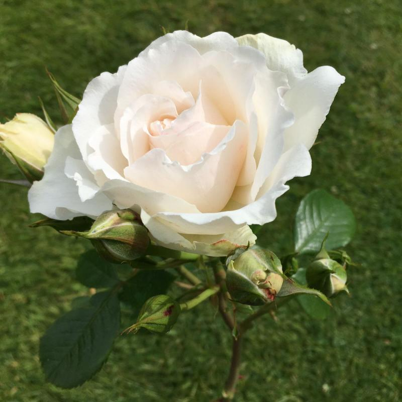 Your Wedding Day rose