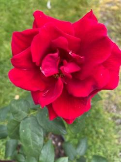 Marvelous Buy Hybrid Tea Roses Online In The Uk With Magnificent Hannah Hybrid Tea Rose With Nice Brampton Garden Centre Also Sun Gardens Croatia In Addition Garden Sheds For Sale On Ebay And Green Gardens As Well As Bush Gardens Tickets Additionally Where Is The Garden Of Eden From Countrygardenrosescouk With   Magnificent Buy Hybrid Tea Roses Online In The Uk With Nice Hannah Hybrid Tea Rose And Marvelous Brampton Garden Centre Also Sun Gardens Croatia In Addition Garden Sheds For Sale On Ebay From Countrygardenrosescouk