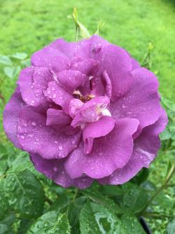 Buy Blue Amp Mauve Roses Online Uk