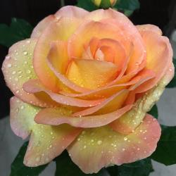 name a rose after someone australia