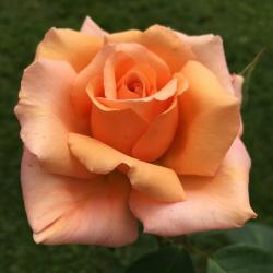 Buy Hybrid Tea Roses Online In The Uk