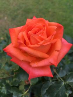 Buy Personalised Roses Amp Plants Online In The Uk